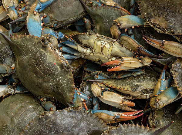 Wall Art - Photograph - Blue Crabs Galore by Jean Noren