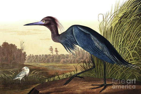 Painting - Blue Crane Or Heron, Ardea Coerulea by John James Audubon