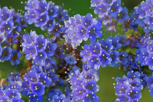 Wall Art - Photograph - Blue Curl Flowers, Phacelia Congesta by Adam Jones