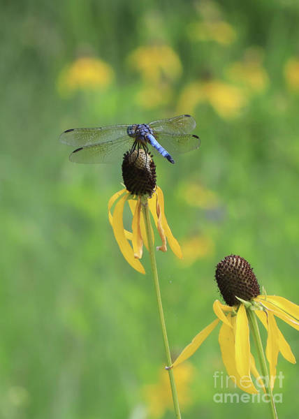 Photograph - Blue Dasher And Yellow Cone Flower by Paula Guttilla