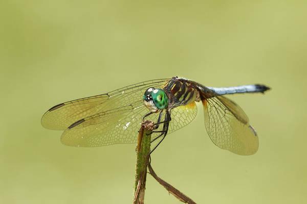 Dasher Photograph - Blue Dasher Dragonfly, Creasey Mahan by Adam Jones