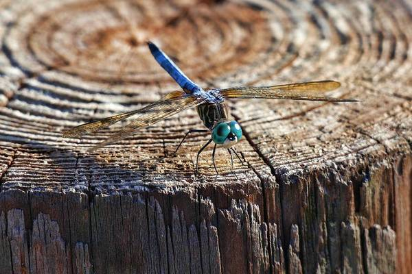 Photograph - Blue Dasher Dragonfly by Don Columbus