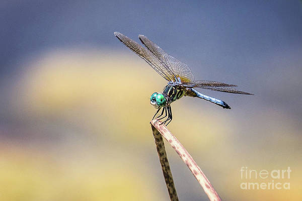 Wall Art - Photograph - Blue Dasher Dragonfly On Point by Sharon McConnell