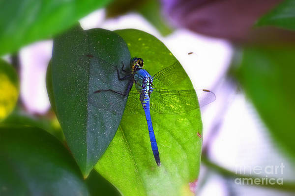 Photograph - Blue Dasher by Patti Whitten