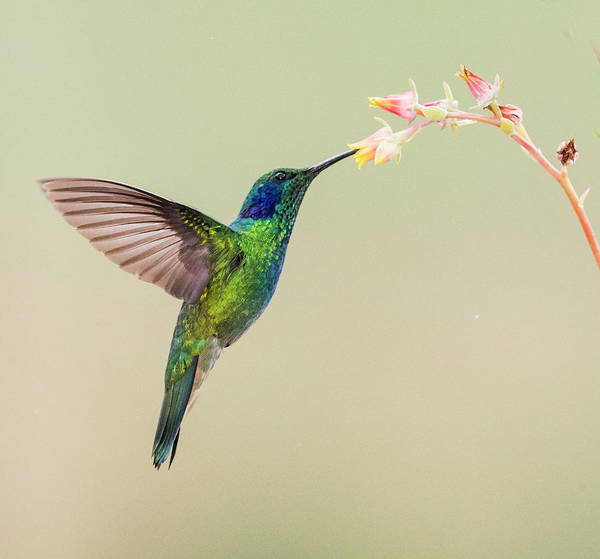 Wall Art - Photograph - Blue-eared Violet Hummingbird Feeding by Panoramic Images