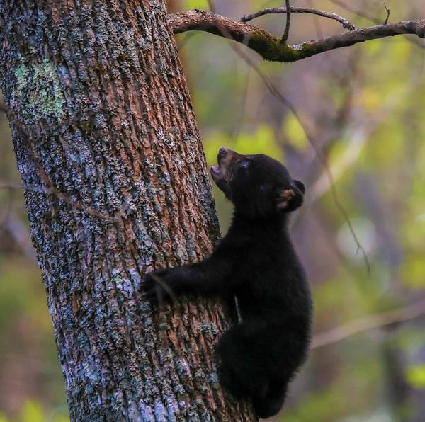Photograph - Blue Eyed Bear Cub Climbing A Tree by Dan Sproul