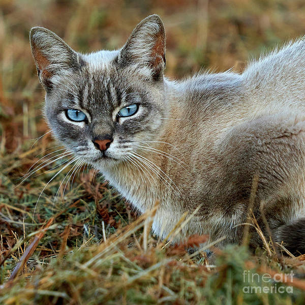 Photograph - Blue-eyed Cat Looking Into Your Eyes by Pablo Avanzini
