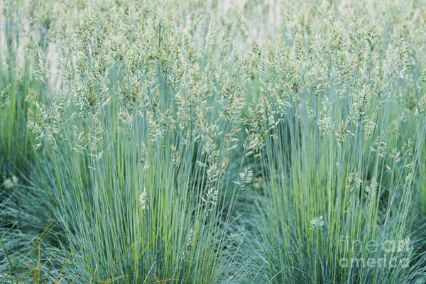 Photograph - Blue Fescue Grass by Tim Gainey