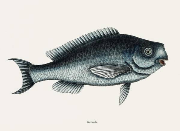 Wall Art - Painting - Blue Fish  Novacula Caerulea  From The Natural History Of Carolina, Florida, And The Bahama Islands  by Celestial Images