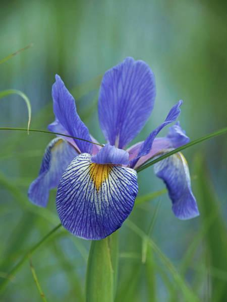Photograph - Blue Flag Iris by James Peterson