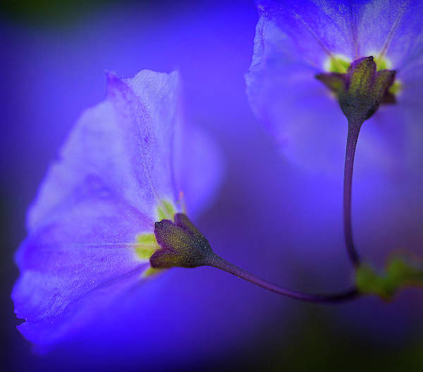 Photograph - Blue Flower by John Rodrigues