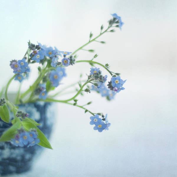 Forget Me Not Photograph - Blue Flowers by Jill Ferry