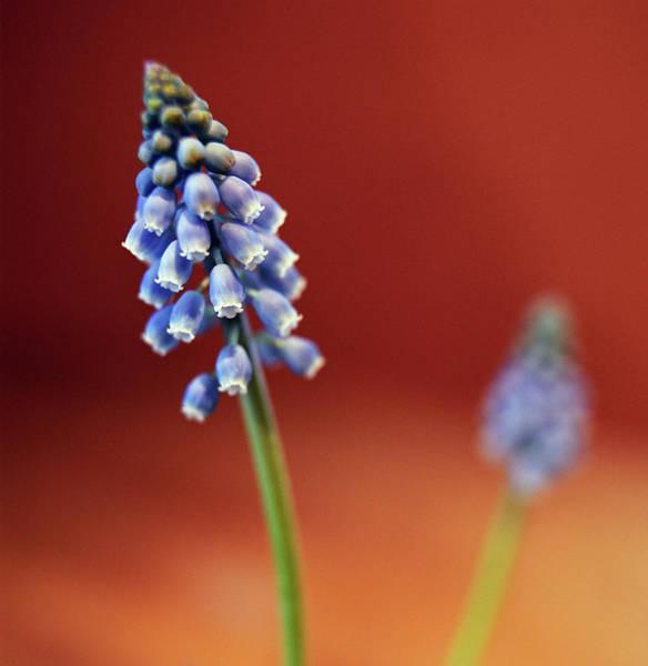 Fragility Photograph - Blue Flowers by Silvia Otte