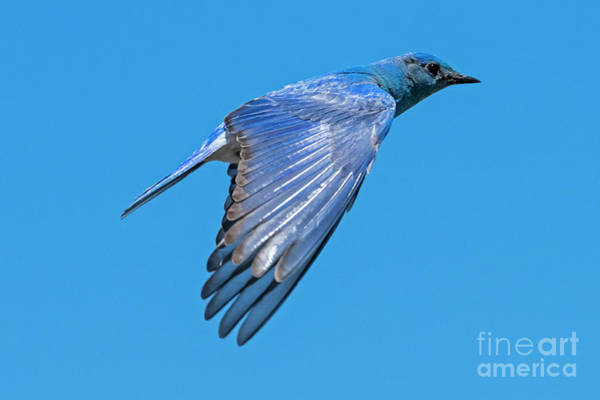 Wall Art - Photograph -  Blue Fly By by Mike Dawson