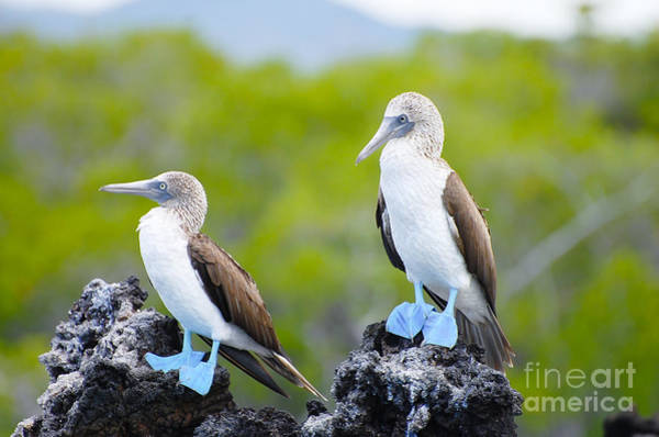 Cliffs Wall Art - Photograph - Blue Footed Boobies - Galapagos - by Adwo