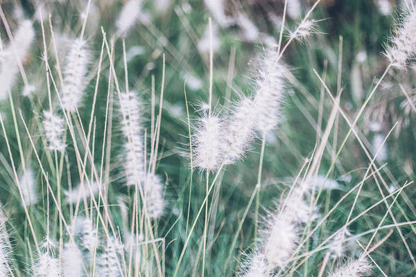 Pennisetum Photograph - Blue Fountain Grass by Pati Photography