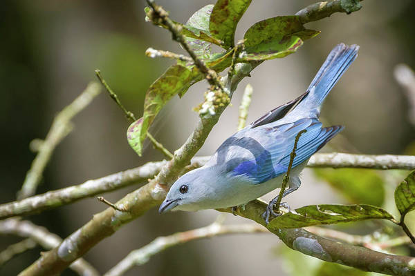 Photograph - Blue-gray Tanager San Jorge Ibague Colombia by Adam Rainoff