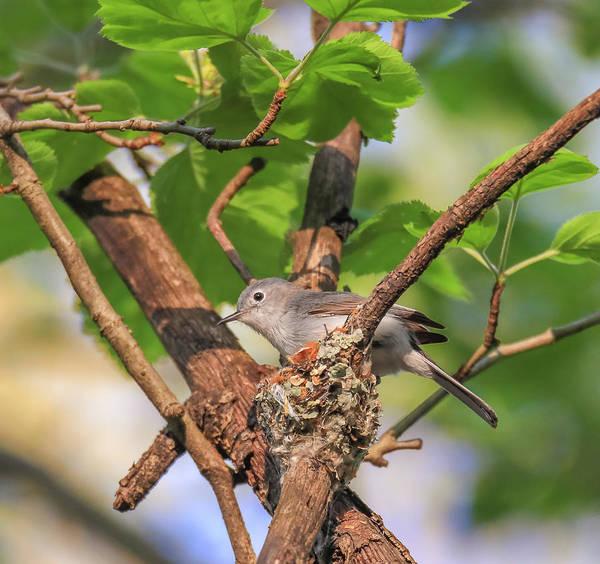 Photograph - Blue Grey Gnatcatcher by Dan Sproul
