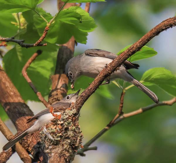 Photograph - Blue Grey Gnatcatchers Building Nest by Dan Sproul