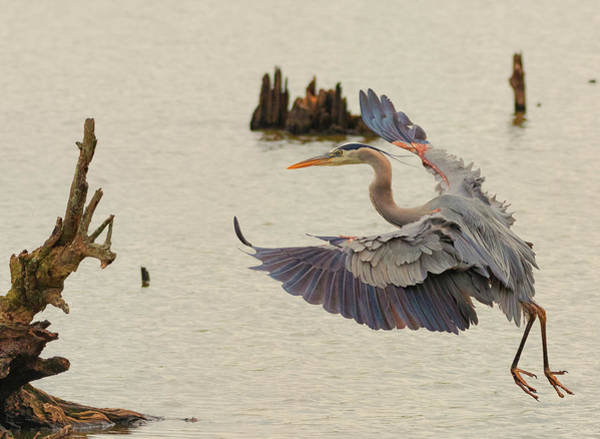 Photograph - Blue Heron 2 by Richard Kopchock