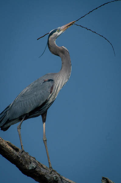 Photograph - Blue Heron 2011-0322 by Donald Brown