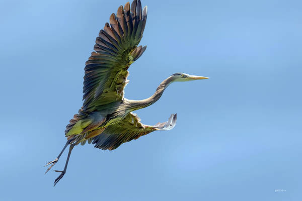 Photograph - Blue Heron 7 by Leland D Howard
