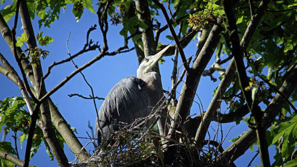 Photograph - Blue Heron At Home by Cameron Wood