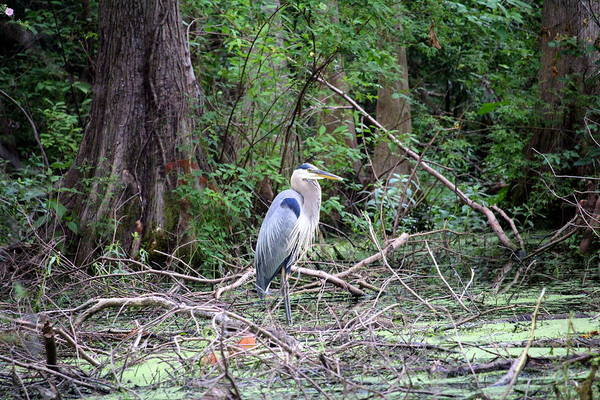 Photograph - Blue Heron At The Lake by Cynthia Guinn