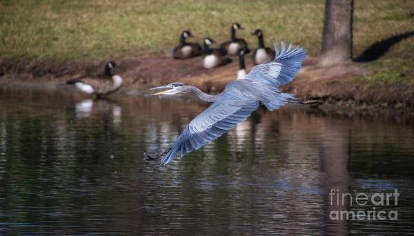 Photograph - Blue Heron Coming In Hot by Dale Powell