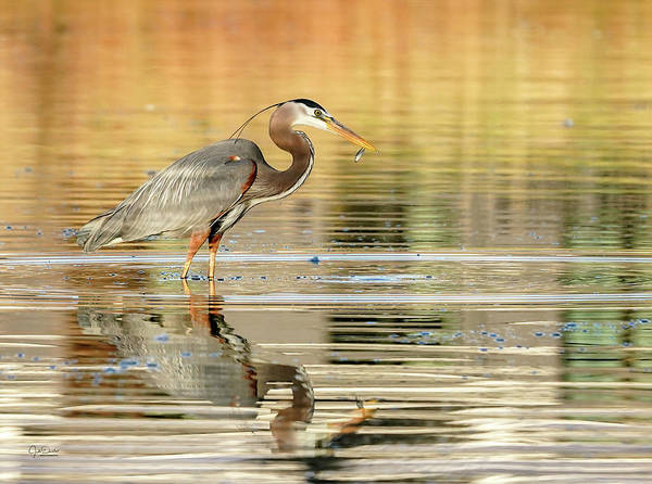 Photograph - Blue Heron Fishing by Judi Dressler