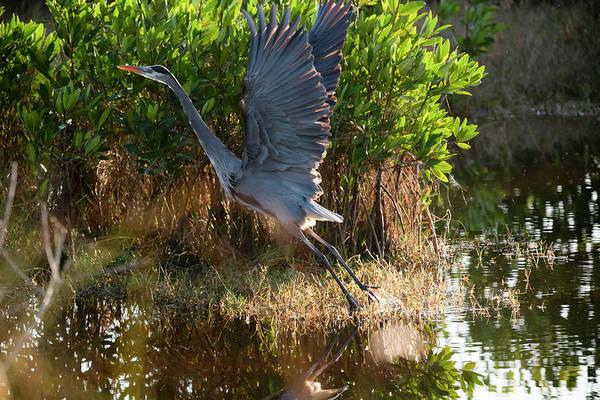 Photograph - Blue Heron Flying Away by Dan Friend