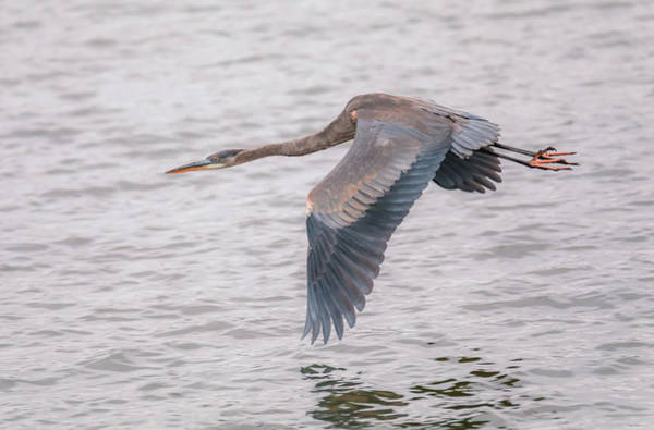 Photograph - Blue Heron In Flight by Dan Sproul