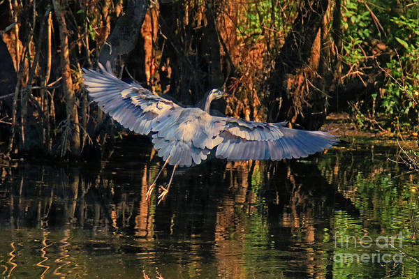 I-75 Photograph - Blue Heron In Flight by Jim Beckwith