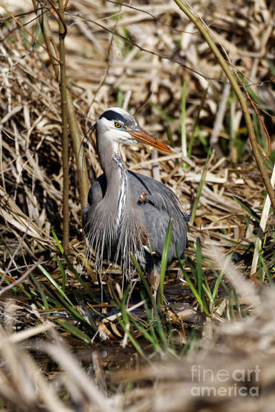 Photograph - Blue Heron In The Marsh Land by Sue Harper