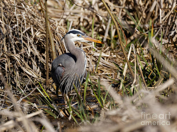 Photograph - Blue Heron In  The Marshland by Sue Harper