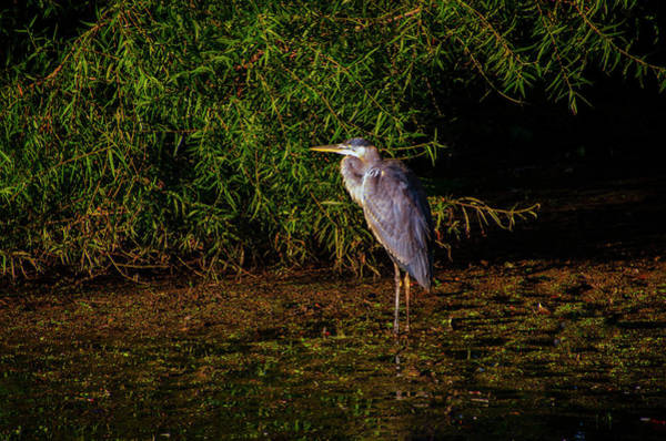 Photograph - Blue Heron In The Morning Light by Bill Cannon