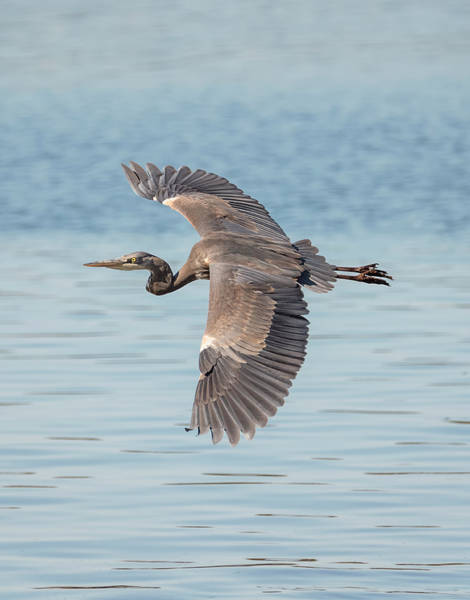 Photograph - Blue Heron Moving On by Loree Johnson
