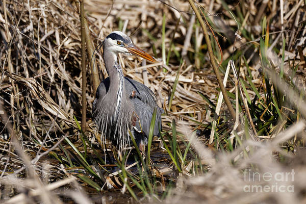 Photograph - Blue Heron On The Hunt by Sue Harper