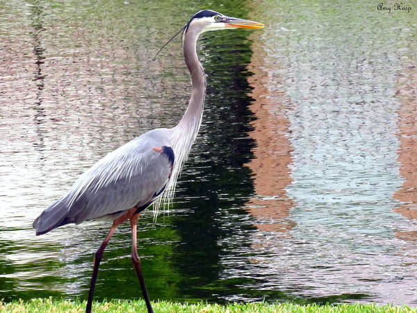 Wall Art - Photograph - Blue Heron On The Move by Amy Hosp