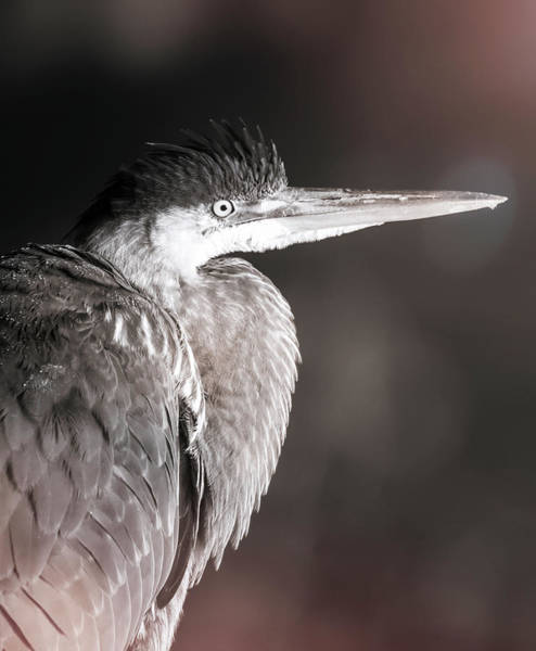 Photograph - Blue Heron Profile by Dan Sproul