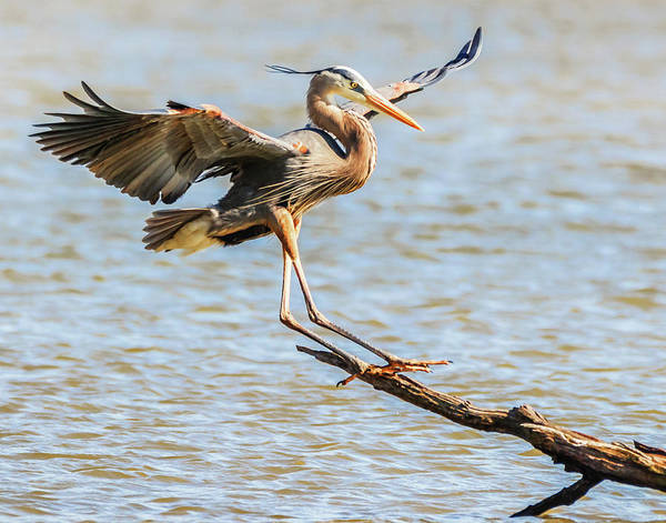 Photograph - Blue Heron  by Richard Kopchock
