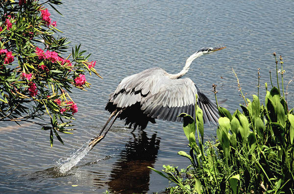 Photograph - Blue Heron Take Off by Karl Ford