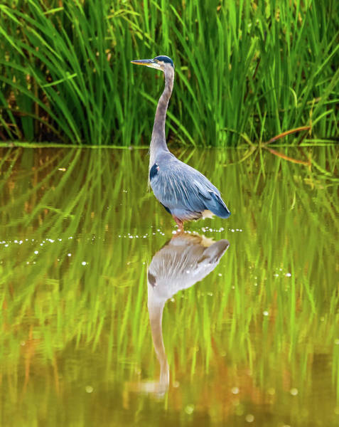 Photograph - Blue Heron Wading Reflection by Dan Sproul