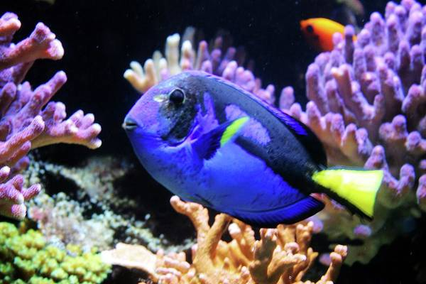 Photograph - Blue Hippo Tang by Cynthia Guinn