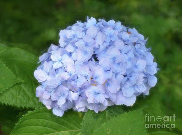 Photograph - Blue Hydrangea Bush by Kerri Farley