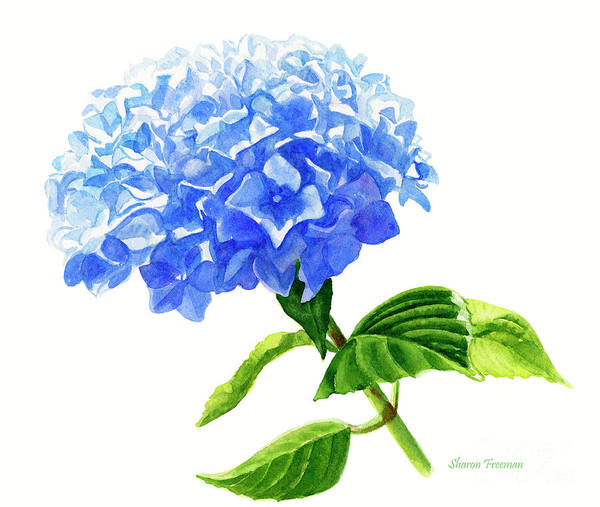 Freeman Wall Art - Painting - Blue Hydrangea Flower White Background by Sharon Freeman