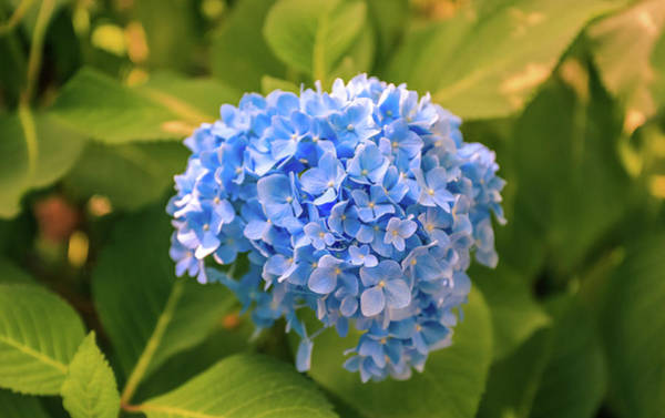 Photograph - Blue Hydrangeas by Dan Sproul