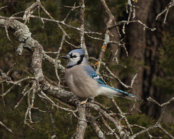 Photograph - Blue Jay 5215 by John Moyer