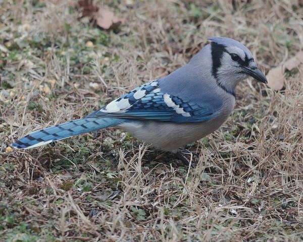 Photograph - Blue Jay 5608 by John Moyer