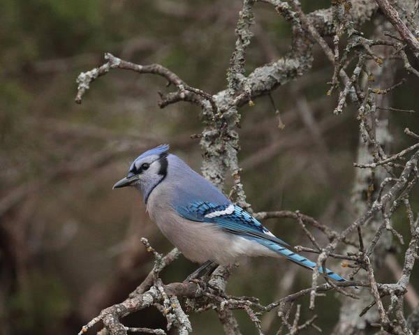 Photograph - Blue Jay 5783 by John Moyer